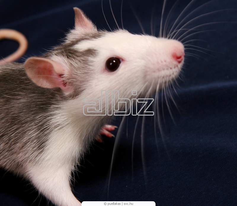 Купить Крысы декоративные
