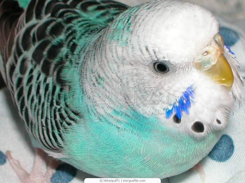 Купить Волнистые попугаи