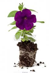 Рассада декоративных растений