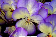 Семена для цветоводства