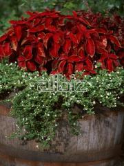 Растения садовые