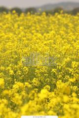 Рапс и зерновые