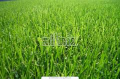 Бобовые и кормовые травы