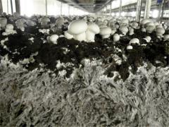 Грибница для выращивания в среде (компост)
